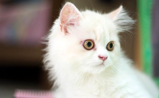 Quel budget annuel faut-il prévoir pour un chat ?